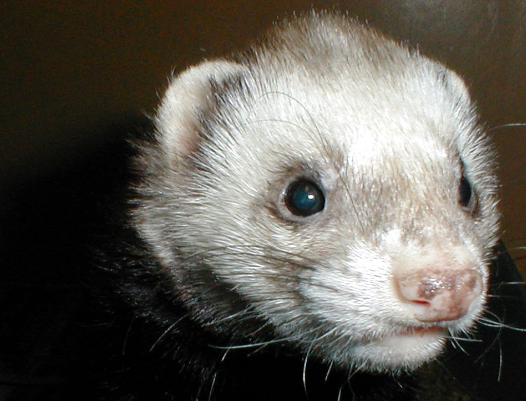 ferret face wallpaper background - photo #13